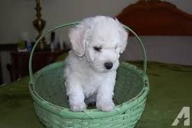 bichon frise 7 weeks old bichon frise female puppy 8 weeks old for sale in ada oklahoma