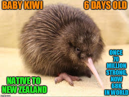 Baby Animal Memes - rowi kiwi are rarest species of kiwi worldwide imgflip