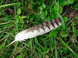 shouldered hawk feather secondary wing