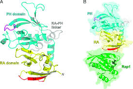 ra ribbon structure of the ra ph domains of mouse riam a ribbon