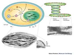 Where Do The Light Independent Reactions Occur Photosynthesis Chloroplast Learn Science At Scitable