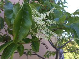 pacific northwest native plants august 2017 plant profile oxydendrum arboreum