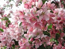 Trees With Pink Flowers Stock Photo Blossoming Tree With Beautiful Pink Flowers Image