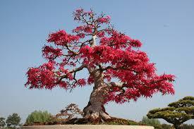japanese bonsai juventude em foco