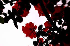 theme black rose red and black rose wallpapers 17 desktop wallpaper