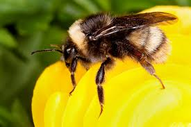 study suggests commercial bumble bee industry amplified a fungal