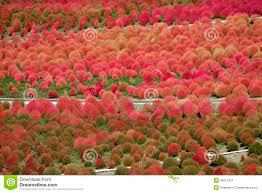 kochia scoparia grass stock image image of season asia 46011327