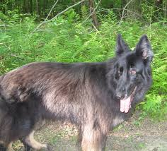 australian shepherd wolf mix sharks and jets got wolf yes you do