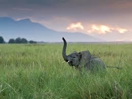 elephants have 2 000 genes for smell u2014most ever found u2013 national
