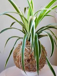 indoor vine create a green environment in your home with these climbers and