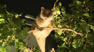 feeding a ringtail possum in my backyard australian native