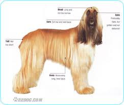 afghan hound weight afghan hound pictures information care requirements and other