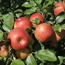 honeycrisp apple apple trees stark bro s