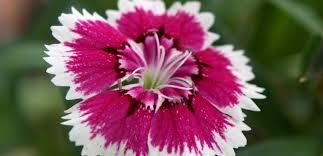 dianthus flower master gardener tips the dianthus source colorado