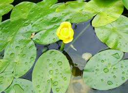 plants native to uk native aquatic plants of britain lilies water gardens