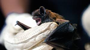 a woman dies of rabies after waking up to find a bat in her bed