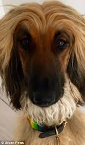 afghan hound hairstyles celebrity dogs who bear an uncanny resemblance to their owners