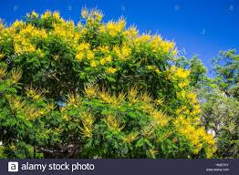 Yellow Flowering Trees - a decorative tree with yellow flowers on plaza lavalle in buenos