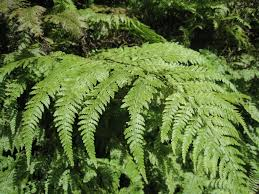 native ontario plants forest plants native plants of hawaii bushes shrubs and