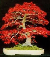 how to prune and care for a japanese maple tree