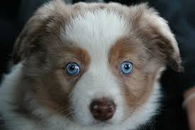 australian shepherd gray australian shepherd dog breed a great herding dog ultimate guide