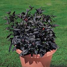 ornamental peppers black pearl ymker greenhouse and landscaping