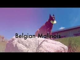 belgian shepherd youtube the 25 best belgian malinois breeders ideas on pinterest