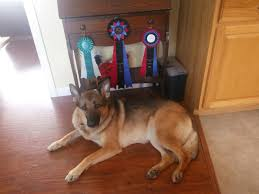 belgian sheepdog national specialty 2014 nw3 elite scentinel nose work dog training