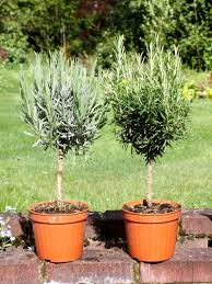 Lollipop Topiary Tree Lavender Standard And Rosemary Standard Top Topiary Herbs Top