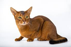 best cat food for abyssinian cats november 2017