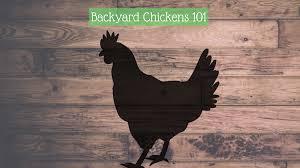 Chickens For Backyard by Backyard Chickens U2013 Qc Food Hub