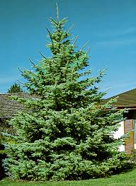 blue spruce trees colorado blue spruce monrovia colorado blue spruce