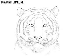 how to draw a tiger drawingforall
