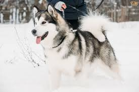 afghan hound de 1 mes alaskan malamute dog breed information buying advice photos and