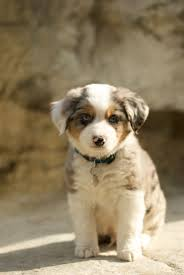 twin oaks 2 australian shepherd 119 best australian shepherd images on pinterest animals