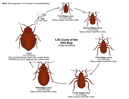 Living With Bed Bugs Bed Bugs Public Health And Medical Entomology Purdue Biology