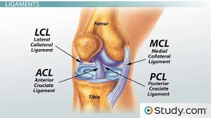 Which Cell Helps In Movement Of Bones Fibrous Connective Tissue Function U0026 Types Video U0026 Lesson