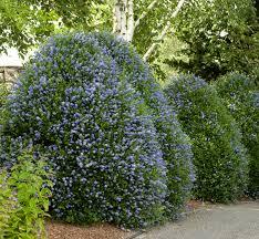 victorian native plants victoria california lilac monrovia victoria california lilac