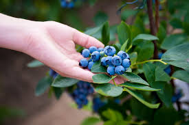 where to buy blueberry bushes trusted sources you should know