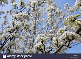 white blossom flowering ornamental pear in melbourne australia