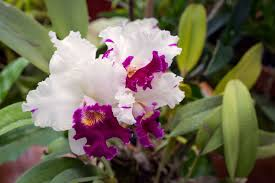 orchids flowers orchid flower meaning and symbolism a really interesting read