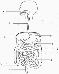 digestive system unlabeled diagram u2013 human body diagram