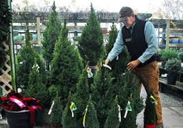 potted dwarf trees put a little twist on christmas tradition