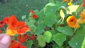 nasturtium flowers nasturtium edible flowers delicious in salads or sandwiches