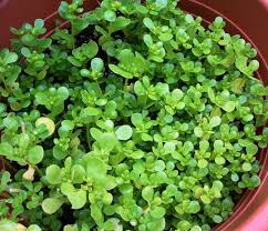 how to grow purslane gardening jones