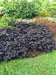 august sweet potato vine