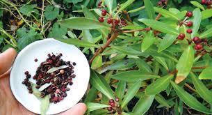edible native australian plants blog u2013 st lukes community garden