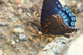 black blue orange butterfly se michigan sw oakland county