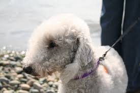 bedlington terrier guide got allergies these hypoallergenic dog breeds are your new best