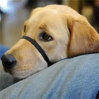 Comfort Dogs Certification First Therapy Dogs Graduate From Maryland Prison Training Program